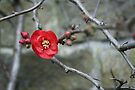 Chaenomeles 'Jane Taudevin' by Astrid Ewing Photography