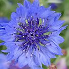 Cornflower Blue by Barrie Woodward