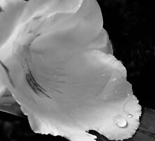 Droplet on a white flower by woodnimages