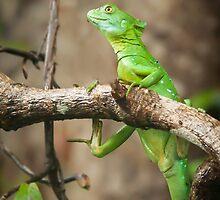 Jesus Christ Lizard in Tortuguero by Robert Kelch, M.D.