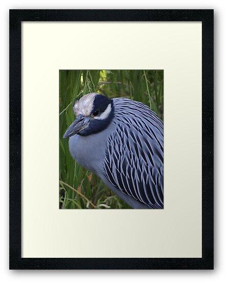 White Crowned Heron - Garza De Corona Blanca by Bernhard Matejka