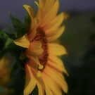 Sunflower in perfect lightning... by Mauds
