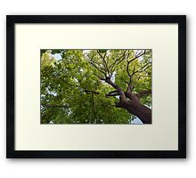 Bottom view of a crown of a huge green tree Framed Print