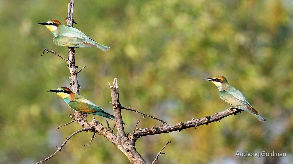 European bee-eaters by jozi1