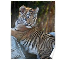 Baby Tiger Pose Poster
