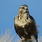 Cheeky Hawk by Darcy Overland
