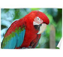 Scarlet Macaw - Singapore. (2) Poster
