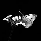 White Butterfly by Christine  Wilson Photography