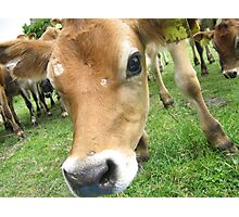 Cow Photographic Print