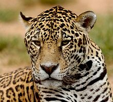 a portrait of Jaguar 03 by Wieslaw Jan Syposz
