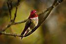 MALE ANNA HUMMINGBIRD by Sandy Stewart