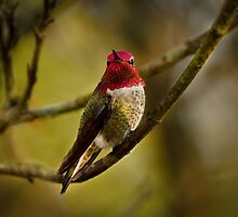 MALE ANNA HUMMINGBIRD by Sandy Stewart