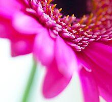Pink Gerbera Flower by Neil Clarke