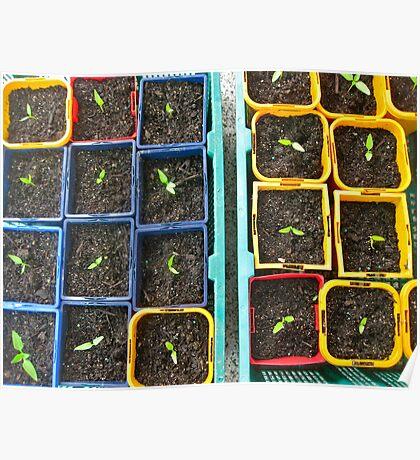 13/1 Capsicum Seedlings Poster