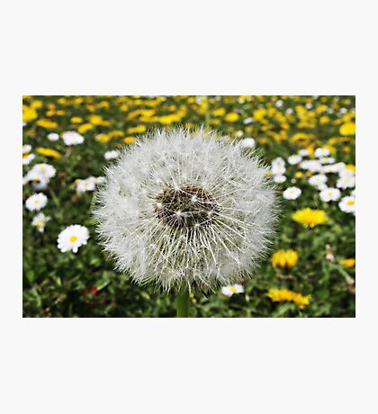 Dandelion Photographic Print