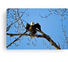 Adjusting the perch on a Cottonwood branch Canvas Print