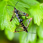Currant Clearwing moths (Synanthedon tipuliformis) by Robert Down