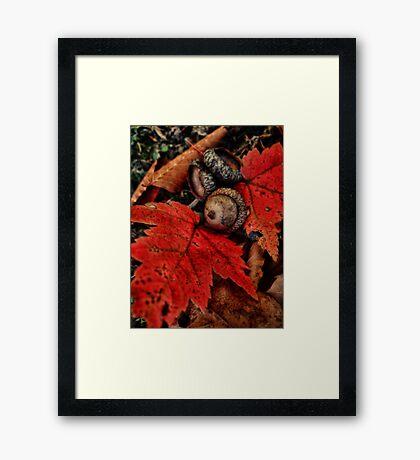 Little Acorn Framed Print