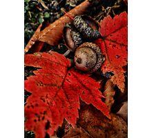 Little Acorn Photographic Print