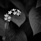 Forget-me-not by IonaSpence