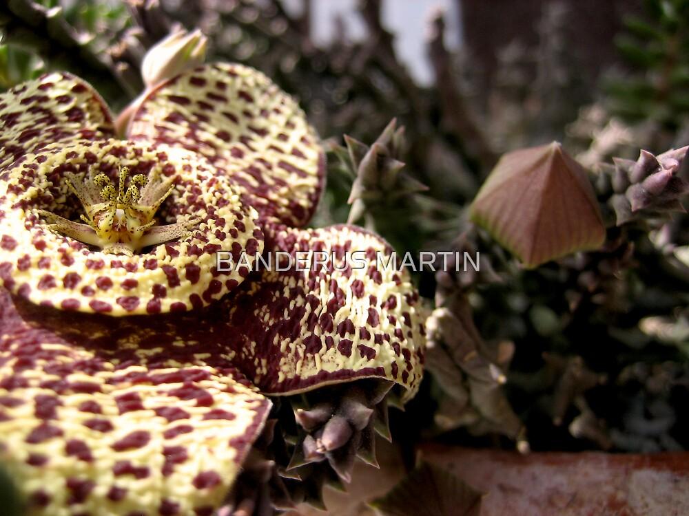 Flor de lagarto   by BANDERUS MARTIN