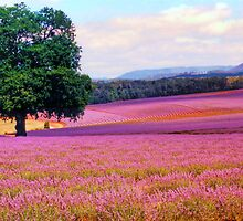 A Field of Lavender by Michael Vickery