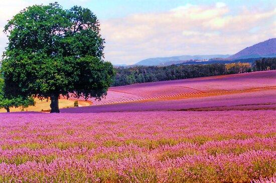 A Field of Lavender by Michael John
