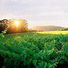 """Vineyard Sunset"" by Michelle Lee Willsmore"
