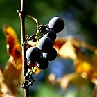 Grapes on the Vine by NealEslinger