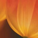 Translucent Tulips by Barbara  Brown