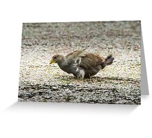 Native Hen in windy conditions Greeting Card