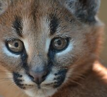 Sushi the Caracal close up by shaebaby90