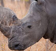 White Rhinoceros, Kruger National Park, South Africa by Erik Schlogl