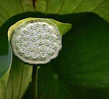 Lotus Seed Pod by Paula McManus
