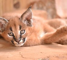 Caracal by shaebaby90
