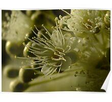 Lemon Scented Myrtle Backhousia citriadora Poster