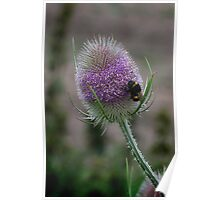 White-tailed Bumblbee on teasel Poster