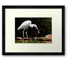 Little Blue Heron - White Morph With Tadpole/Frog Framed Print