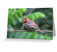 Pretty house finch Greeting Card
