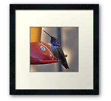 MALE COSTA'S HUMMINGBIRD ON FEEDER Framed Print