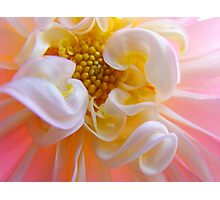 Dahlia Floral art prints Pink White Dahlias Photographic Print