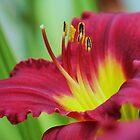 garden lily by ANNABEL   S. ALENTON
