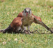 Kestrel Feeding by Brndimage