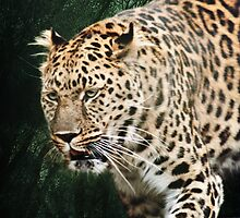 Amur Leopard by Lissywitch