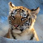 Baby Tiger Portrait by Veronica Schultz