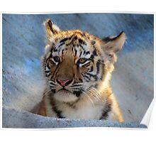 Baby Tiger Portrait Poster