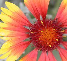Gazania Flower by STHogan