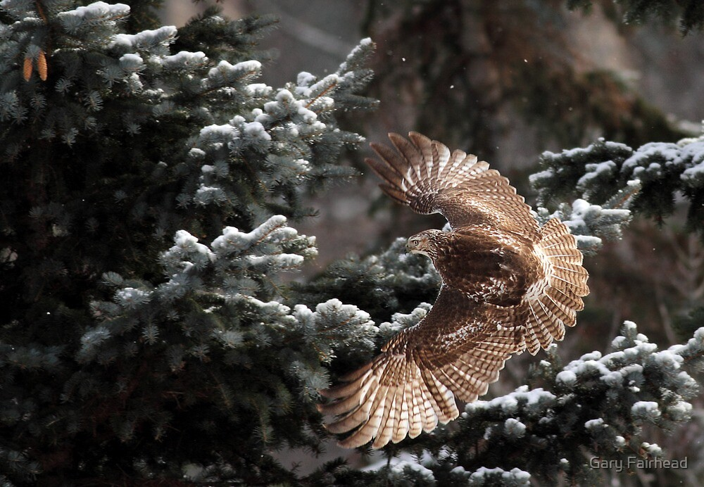 Catch The Light / Red Tail Hawk by Gary Fairhead