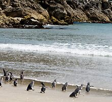 penquins on Mount Maunganui beach from Rena recovery by Anne Scantlebury