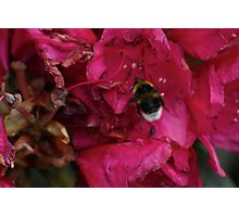 Bee with Pink Flower Photographic Print